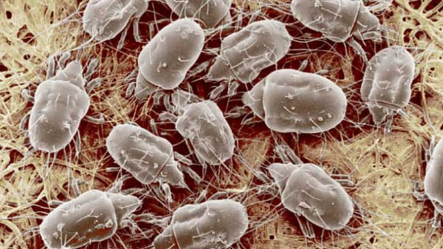how to kill house mites