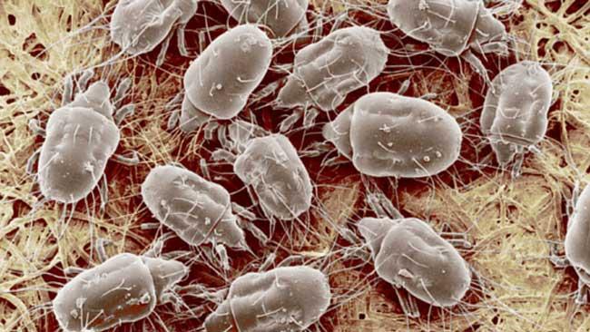 House-dust-mites